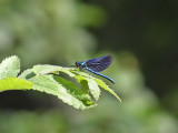 Blå jungfruslända - Beautiful Demoiselle (Calopteryx virgo)