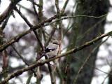 Varfågel - Great Grey Shrike (Lanius excubitor sibiricus)?
