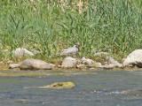 Övriga vadare / Other Shorebirds