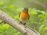 Flugsnappare till starar / Flycatchers to Starlings