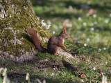 Röd ekorre - Eurasian red squirrel (Sciurus vulgaris)