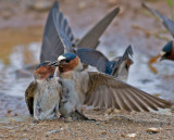CLIFF SWALLOW STEALING MUD.jpg