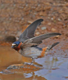 male cliff swallow_edited-2.jpg