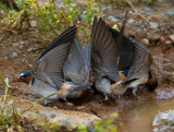 SWALLOWS COLLECTING MUD.jpg