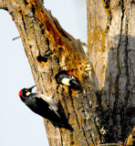 pair of wood peckers.jpg