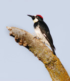 wood pecker watching.jpg