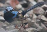 Male Fairy Wren
