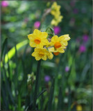 The first jonquils of the season