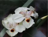 Another wild iris