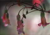 Succulent bells