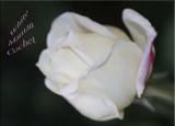 White Maman Cochet, rosebud