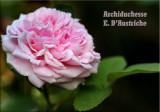 Archiduchesse E. DAustriche