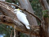 Sulphur-crested cockatoo in tree
