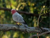Young galah late afternoon sunshine