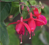 Three fuchsia flowers