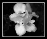 Begonias in mono