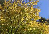 Golden Elm turning