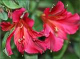 Alstroemaria red.