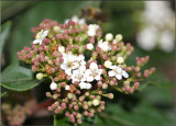 Viburnum tinus in May