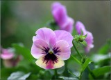 Viola in June