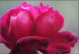 Rose in June