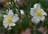 Rosa brunonii