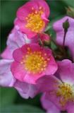 Unnamed seedling rose