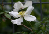 Clematis montana white