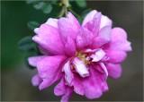 Little Scots rose
