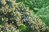 Hymenosporum & Golden Elm