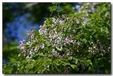 White Cedar tree