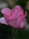 Violina rosebud