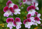 Angel pelargoniums