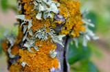 Amazing lichen