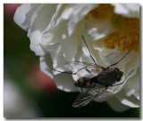 Fly on a rose