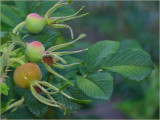 Rugosa hips and leaves