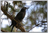 Currawong - 1