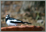 Murray Magpie - 1