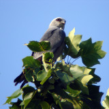 Mississippi Kites, Annandale, VA 2008