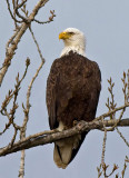 Bald Eagles in December 2009