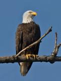 Bald Eagles in November 2009