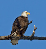 Bald Eagles 2010