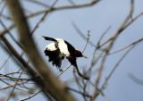 Red-headed Woodpecker at Chinqaupin Park, Alexandria, VA