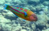 Ornate Wrasse 2