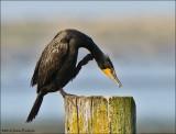 Gulls, Terns and Sea Birds