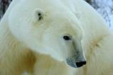 Polar Bears Expedition, Canada Nov 2009