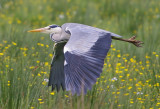 Herons and Egrets of the World