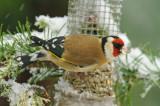Goldfinchs - Carduelis carduelis