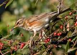 Redwing -  Turdus iliacus
