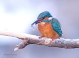 kingfishers_2010